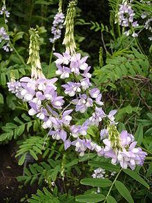 Metformin plant Galega Officinalis