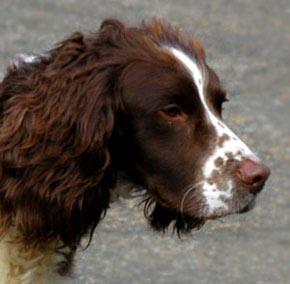 brown-spaniel