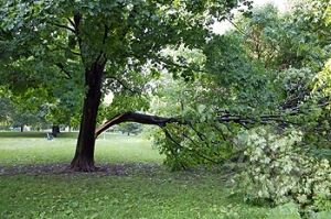 Maple Tree with Broken Branch, Chorley Park, Toronto, Ontario, Canada