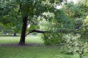 Maple Tree with Broken Branch, Chorley Park, Toronto, Ontario, Canada